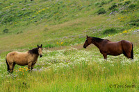 Crested Butte Horses